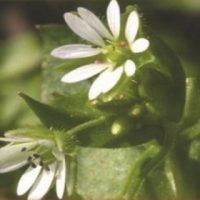 lastellaria